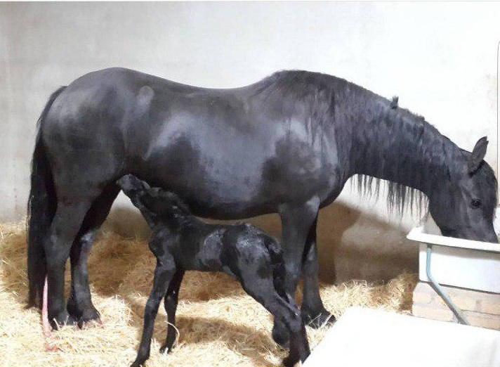 مینچیه، تنها مادیان استاری که توسط مجموعه اسب فریزین ایران وارد کشور گردید.
